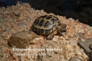 Середньоазійська черепаха